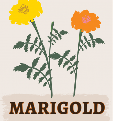 Marigold illustration