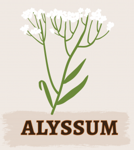 Alyssum Illustration