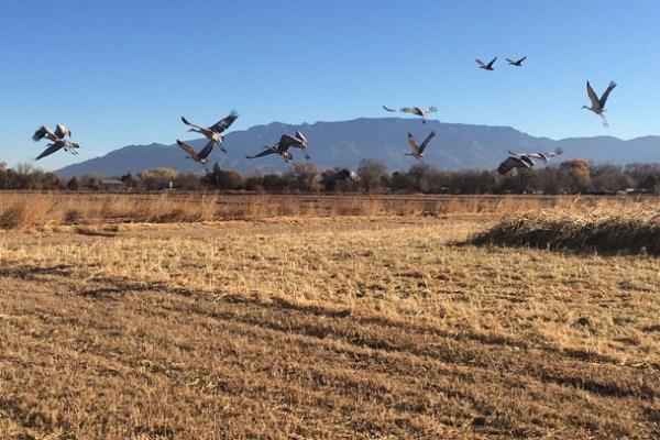 los-poblanos-open-space-sandhill-cranes