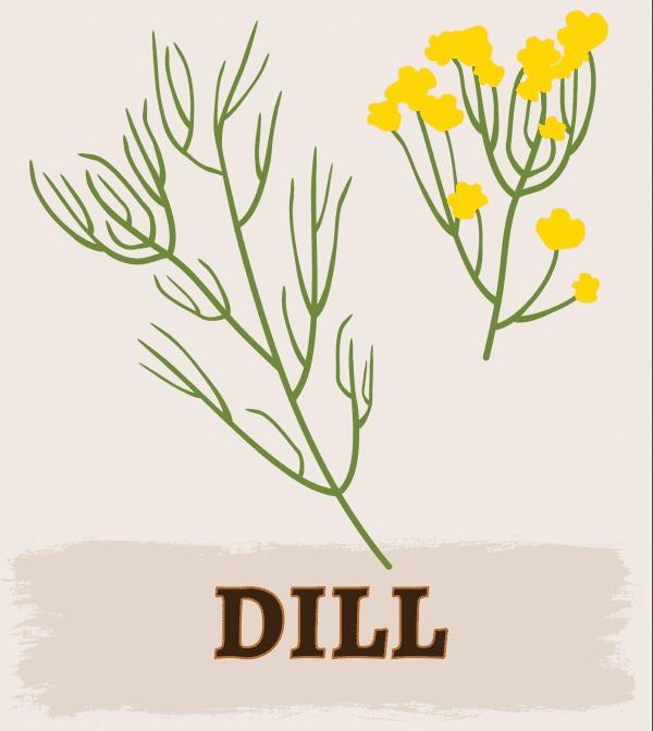 Dill illustration