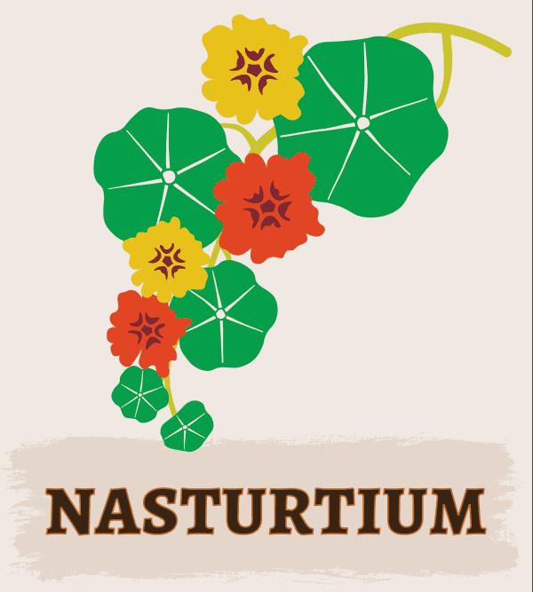 Nasturtium illustration