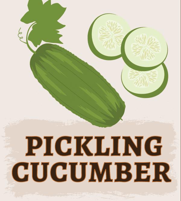 Pickling Cucumber illustration