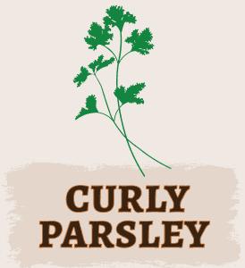 Curly Parsley Illustration