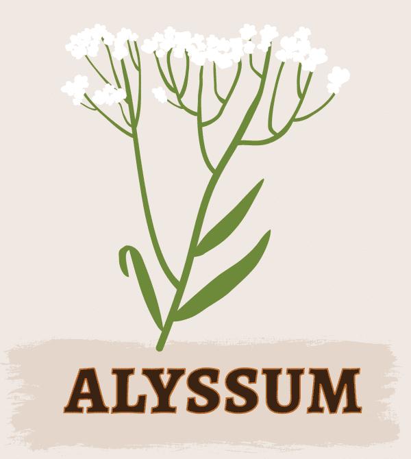 Alyssum Illustration